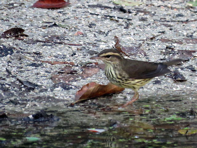 Northern Waterthrush at Mariner's Cove