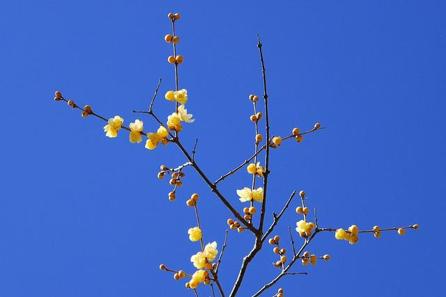Nagatoro_Wintersweet_(2018_01_02)_4_resized_1 蝋梅の木の枝を撮影した写真。 上へ向かって枝が伸び、途中で幾つも枝分かれしている。 黄色の花を沢山咲かせている。 蕾も沢山ある。
