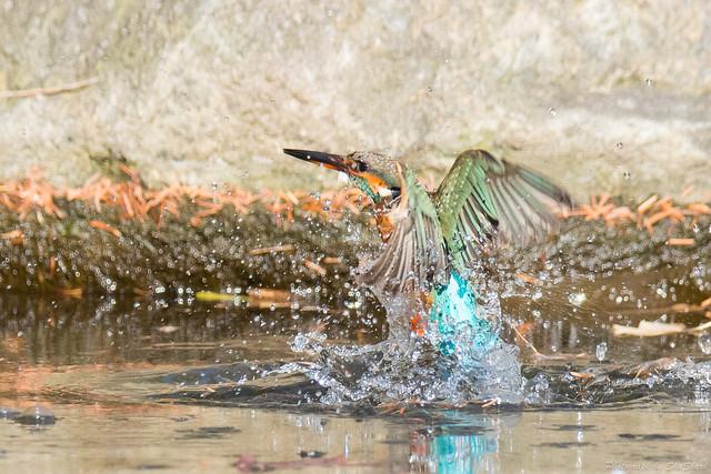 20171229-kingfisher-DSC_3172