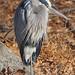 Great Blue Heron - Ardea herodias, Great Falls, Maryland by judygva