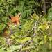 fox amongst the nettles...