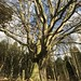 Old tree on the Bilton - Ripley cycleway