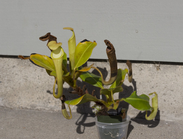Nepenthes chaniana