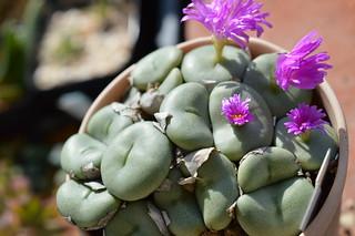 105 Conophytum gratum コノフィツム属 雨月