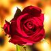 Rose (6/365:2018)