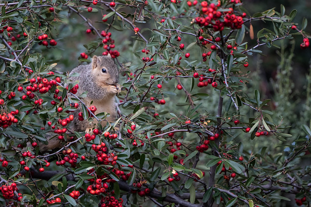 Ensconced in Berries