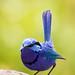 Splendid Fairy Wren_Yanchep_NP_IMG_3942