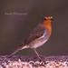 58 Robin