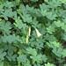 Redwood Sorrel - Oxalis oregana