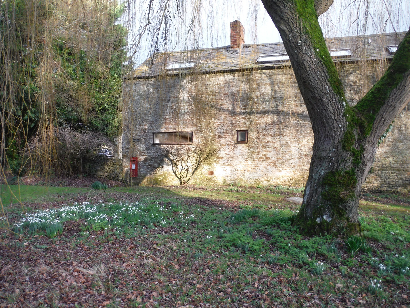 Snowdrops, Old Coach House, Woodeaton