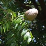 Swietenia mahagoni leaves and capsules