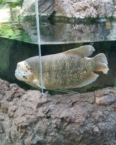Sheepshead wrasse (1) #toronto #torontozoo #fish #sheepsheadwrasse #latergram