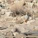 Small photo of Chukar Partridge (Alectoris chukar)