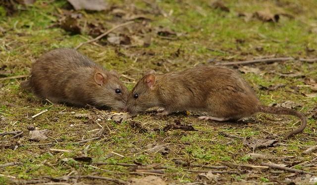 wild urban rat  (2)