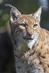 Last lynx picture