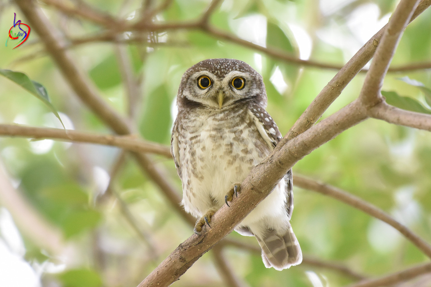 Spotted_Owlet_3924