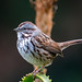 Small photo of Song Sparrow