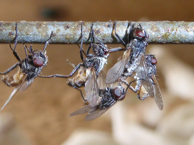 Flies killed by Fungi, Panasonic DMC-TZ70