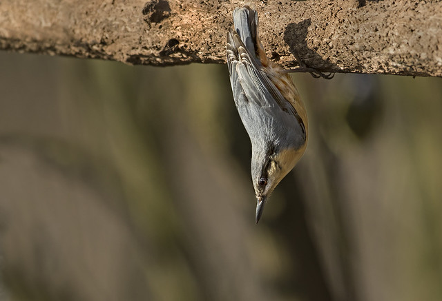 Nuthatch - Just hanging aroud