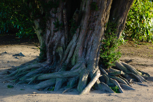 Rooted (yew, West Park)