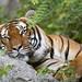 Small photo of Comfortable Malalyan tiger
