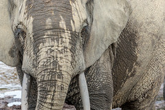 Forest elephant, Dzanga Sangha Special Reserve, CAR