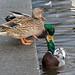 Quarrelsome Ducks