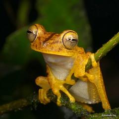 Almendarizs treefrog, Hypsiboas almendarizae