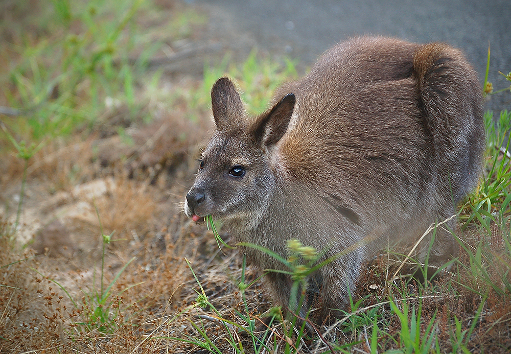 _wallaby_Bennet_