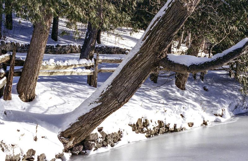 Snow Covered Cedar Trunks over the Ice