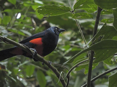 Red-bellied Grackle (Hypopyrrhus pyrohypogaster)