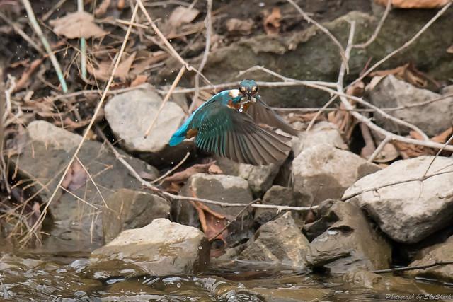 20180120-kingfisher-DSC_4687