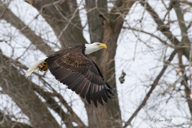 IMG_7891 american bald eagle
