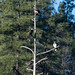 3_bald_eagles_in_a_tree-20180217-100