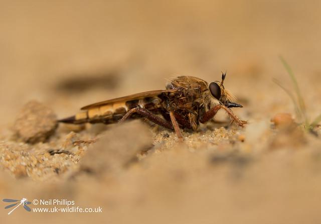 hornet robberfly-2