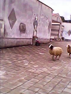 Pecore al Vibonati