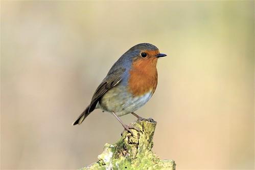 barnwellcountrypark nature bird wild wildlife northamptonshire robin erithacusrubecula