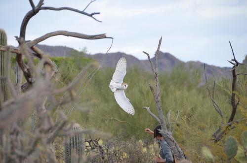 Desert Musem Owl 1