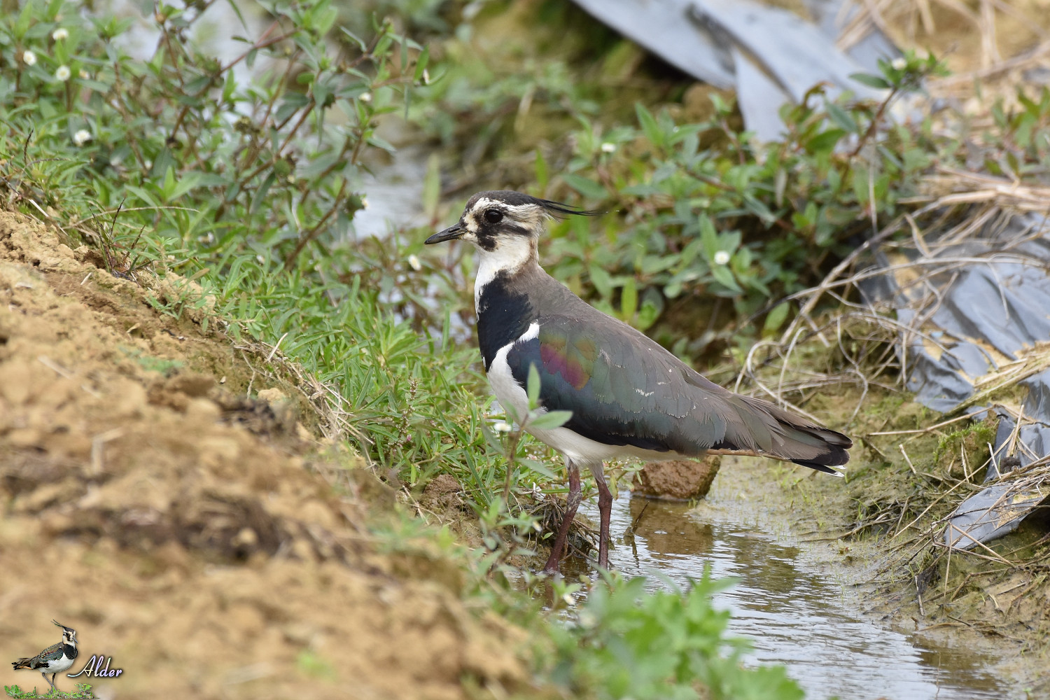 Northern_Lapwing_7504