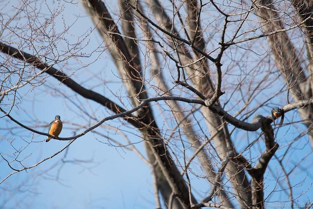 20180211-kingfisher-DSC_8472