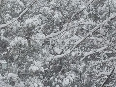 the texture of snow in trees (V1 color & naturally low contrast)