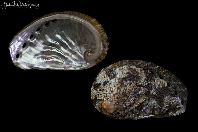 Haliotis tuberculata lamellosa Lamarck, 1822