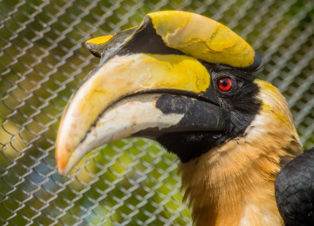 Great Hornbill_5