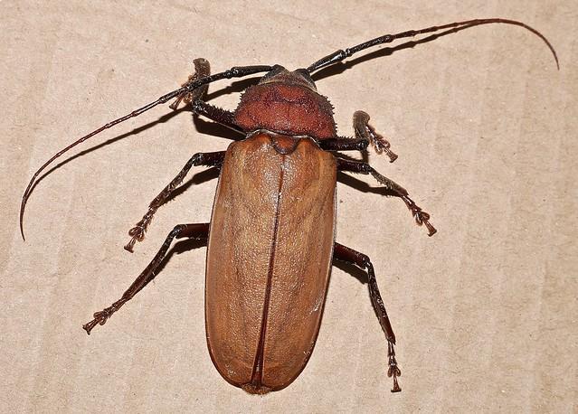 Big Longicorn beetle 65mm long body cerambycidae prioninae agrianome spinicollis cerambycidae prioninae attracted to night light Airlie Beach rainforest P1160097