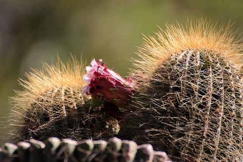 Cone Cactus, Neobuxbaumia polylopha