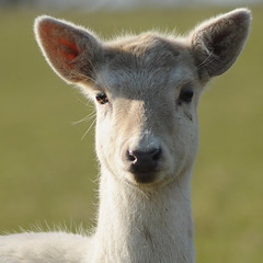 The MilkWhite Doe