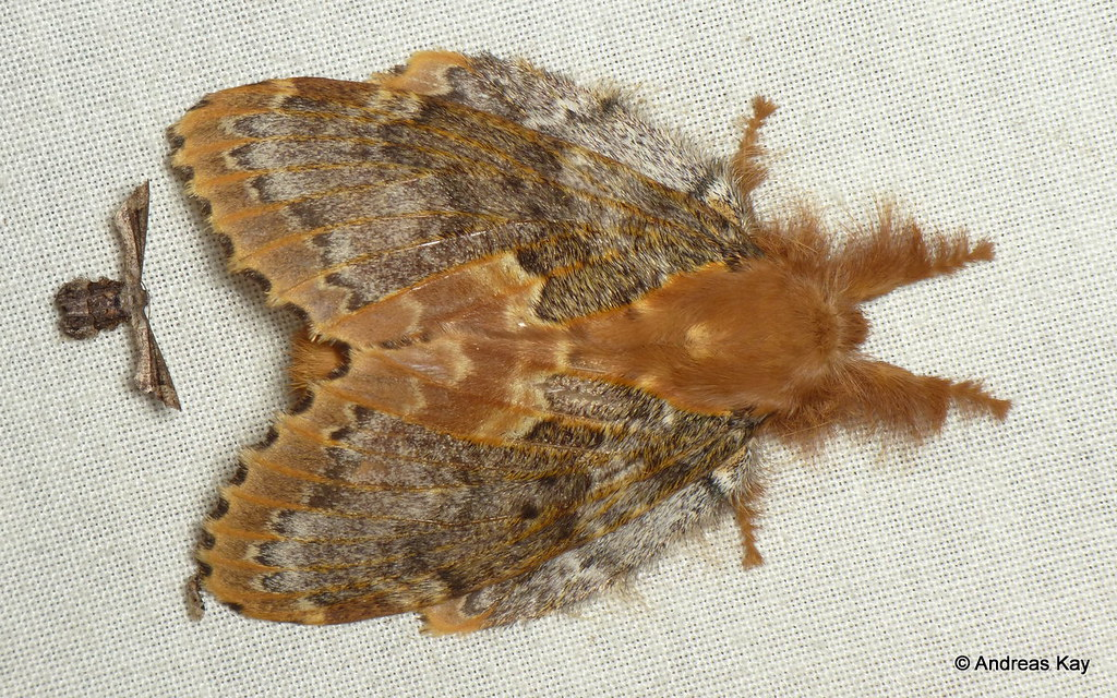 Lappet Moth, Lasiocampidae & Microlepidoptera