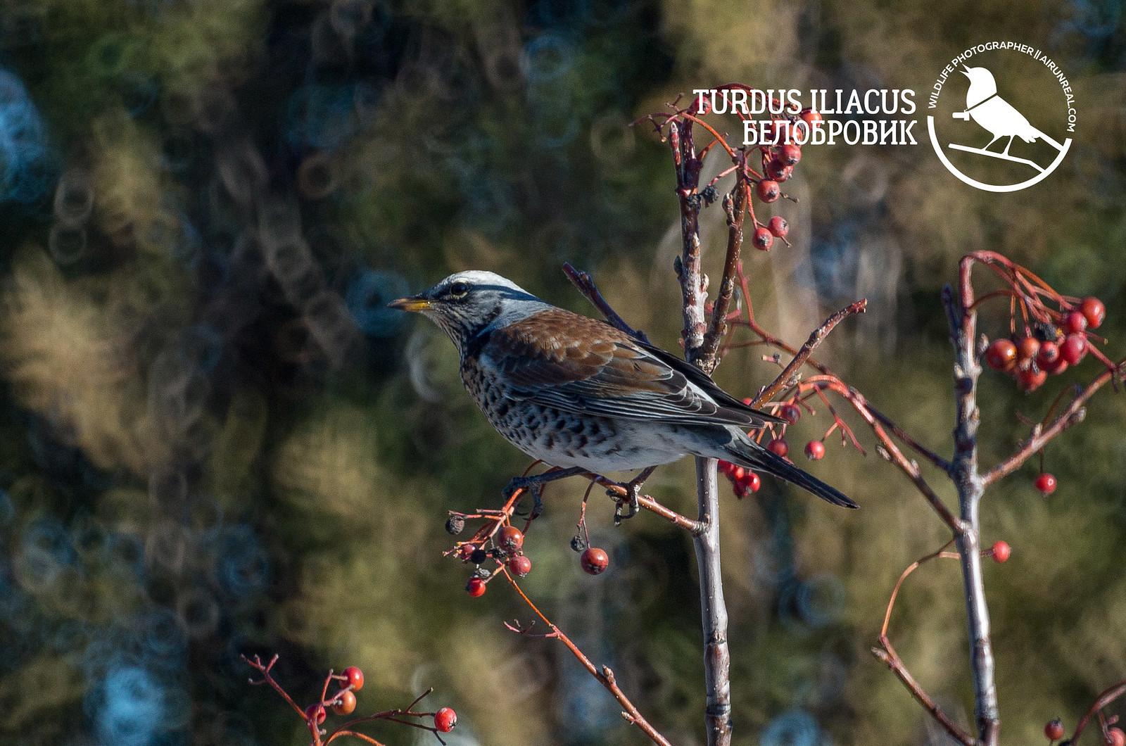 Turdus iliacus // 20180215