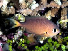 Darkfin chromis (Chromis atripes)