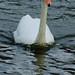 Swan, approaching fast, West Park